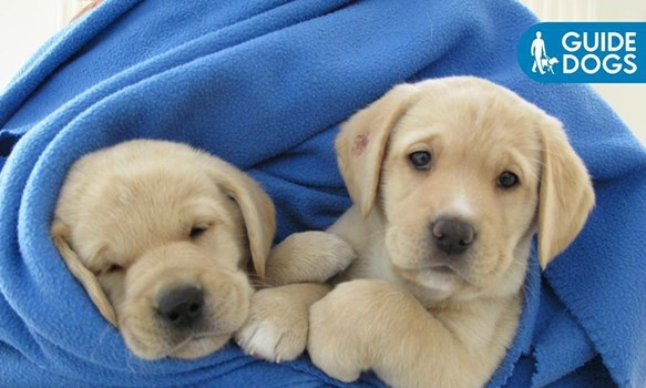 Guide dog pups: free to a good home abc brisbane australian.